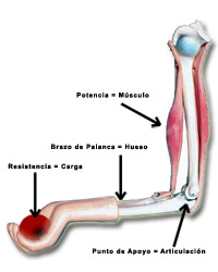 Disposición muscular en flexión de antebrazo