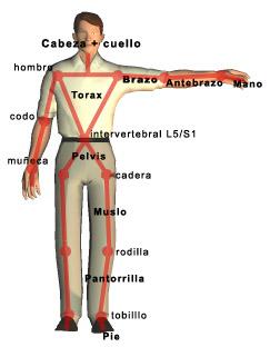 Segmentos de un modelo biomecánico humano